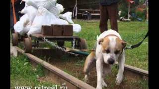 American Pit Bull Terrier Pit Real Weight-pulling