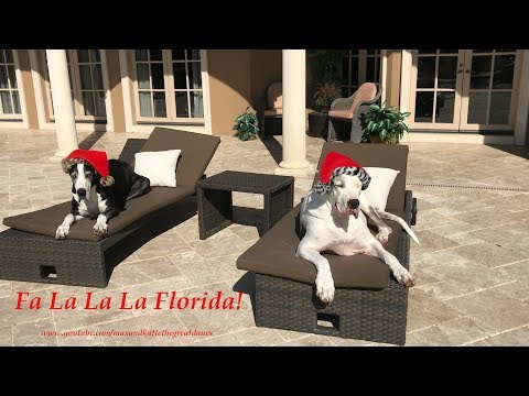 Santa Hat Wearing Great Danes Chilling out in  Florida