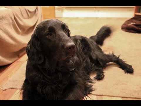 Molly Mae - 3 year old Flatcoat Retriever - 3 Weeks Residential Dog Training