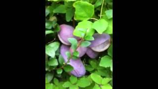 Purple Fruit Bearing Climbing Vine 3