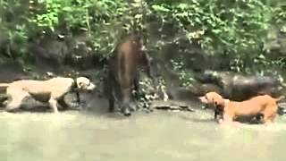 dogs attacking a boar.   питбули атакуют кабана