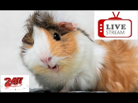Animal Adventure Park LIVE Guinea Pigs Cam - Chat 24\7 HD Stream