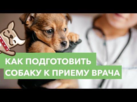 Вопрос: Как готовить собаку к прививке?