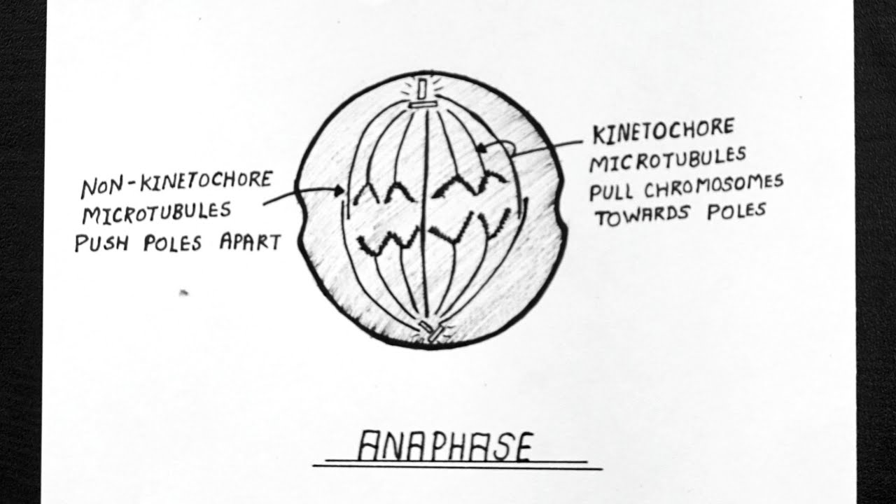 Diagram Of Anaphase || Labelled Diagram Of Anaphase ...