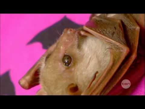 Totally Wild TenDigital 13/05/2013 - Blossom the Bat