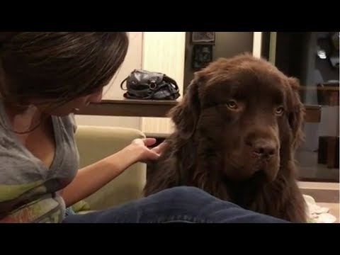 This Enormous Dog Was So Mad At His Mom – And His Reaction To Her Apology Was Beyond Words