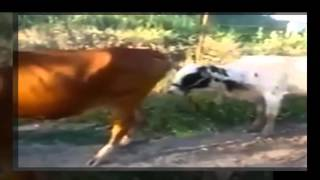 Funniest Cow Mating Fail