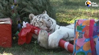 Big Cats Freed From The Circus Celebrate Christmas