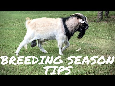 My Top Tips For A Successful Goat Breeding Season