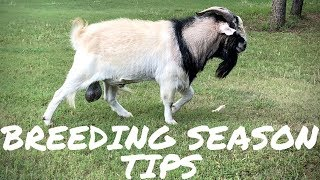 Video My Top Tips for a Successful Goat Breeding Season download MP3, 3GP, MP4, WEBM, AVI, FLV November 2018