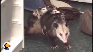 Woman SHOCKED to Find Opossum Hiding In Closet | The Dodo