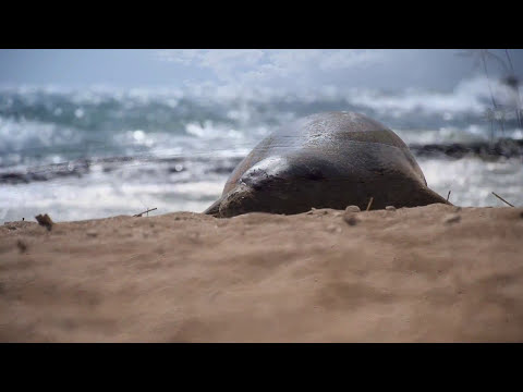 Hawaiian Monk Seals FIGHT!
