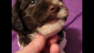Non Shedding Dogs, About Havanese, Breeder, Knoxville, Tn Puppies,sc, Ky, Va, Nc
