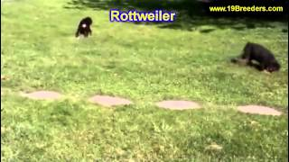 Rottweiler, Puppies, For, Sale, In, Salt Lake City, Utah, Ut, Tooele, Kearns, Cottonwood Heights, Pl