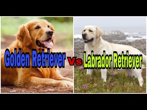 Golden Retriever VS Labrador Retriever in hindi || Which dog is the best ??|| dogs comparision||