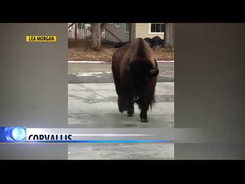 Bison wanders town after briefly escaping pen near Corvallis Elementary School