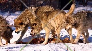 """""""Волк"""". Жизнь в природе диких животных.   Фильм № 3"""