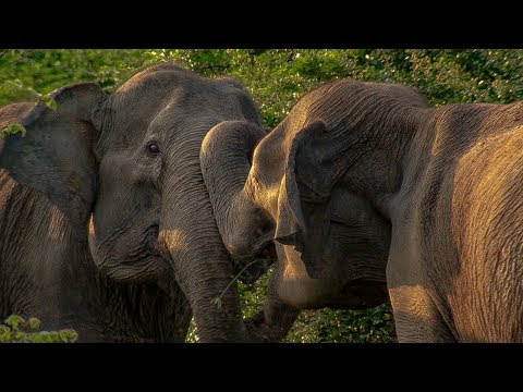 Elephant Mother has Calf Stolen by another Female | BBC Earth