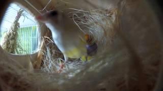 In the nest of gouldian finch. В гнезде амадин гульда , кормление птенца
