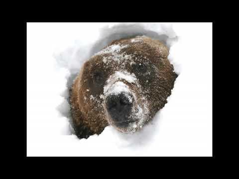 Вопрос: Почему медведь зимой спит, а волк нет?