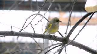 Итак, о птичках. Зеленушка обыкновенная (сем. вьюрковых) - Greenfinch (Chloris) - Nikon D5100 30fps