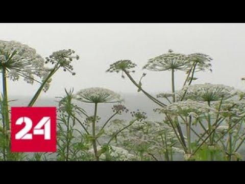 Мособлдума одобрила закон об обязательной борьбе с борщевиком - Россия 24