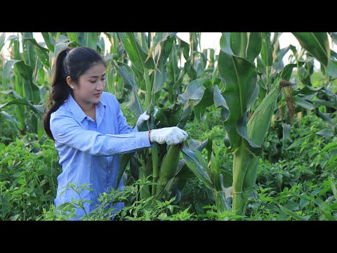 Beautiful Farm Corn In My Village / Easy & Yummy Corn Recipes / Prepare By Countryside Life TV.
