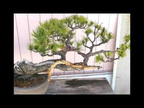 Prumnopitys spicata