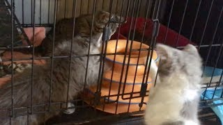 Feral Kitten Check-In ~ Loving The Hammock, Learning Toys & Playing With The Other Kittens