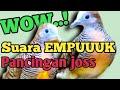 Masteran Burung Perkutut Lokal Bersuara Empuk Jago Pikat Suara  Mp3 - Mp4 Download
