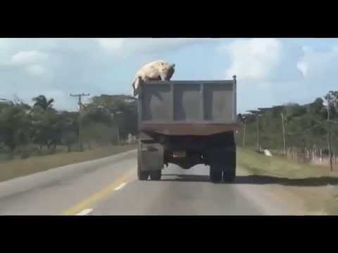 Pig pops out of the truck on the way to slaughter