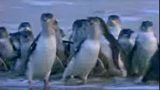 Amazing spectacle! Penguins in Melbourne, Australia - David Attenborough  - BBC wildlife