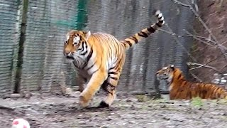 Jump of the Century - Siberian Tigers Ahimsa and Jegor