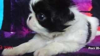 TOP10 Самых маленьких пород собак