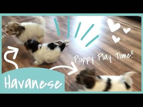 Puppy Play Time l Wittle Havanese