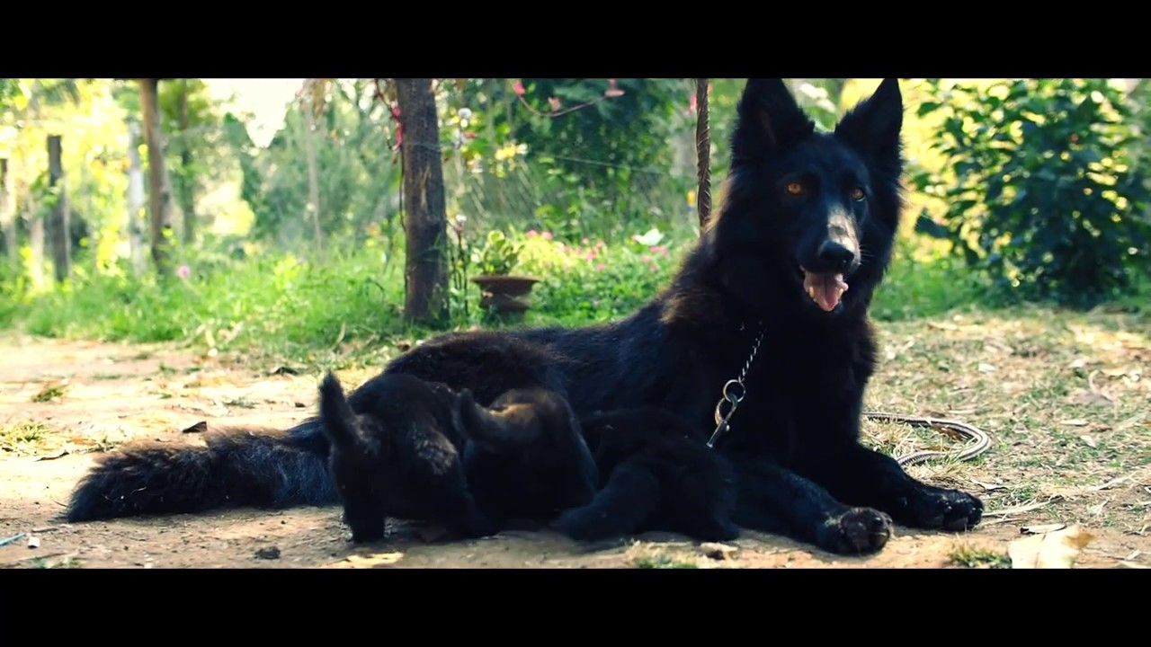 Black German Shepherd Pups In Kerala India Youtube