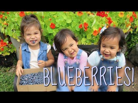 FIRST TIME BLUEBERRY PICKING!!! - July 15, 2016 -  ItsJudysLife Vlogs