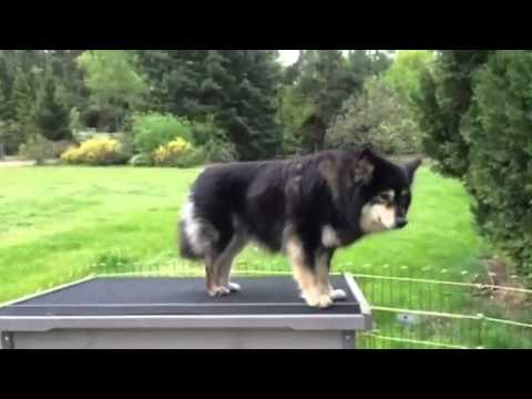 Finnish Lapphund Puppies With Exciting New Toy!