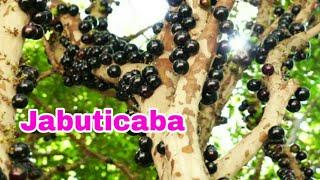 Antes de plantar jabuticaba assista esse video !!
