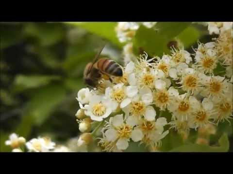 Honey Bees (Apis mellifera) and Chokecherry (Prunus virginiana), Montana, USA