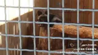 Фото Чернобурка или черная лисица и рыжая лисица