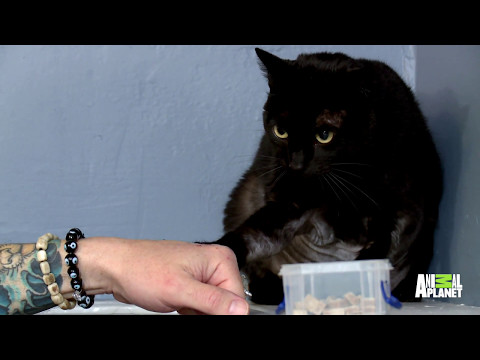 How Long Can Jackson Galaxy Stay In The Ring With This Very Angry Kitty?