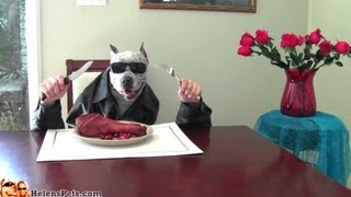 PitBullSharky the Dog eats with Human Hands