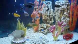 Аквариум 200 литров с цихлидами(Угловой аквариум 200 литров оформлен стилем