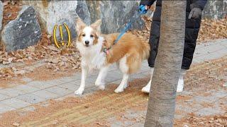 산책하고 있는 강아지 그냥 지나쳐봤을 때 반응  보더콜리 삼둥이네 thumbnail