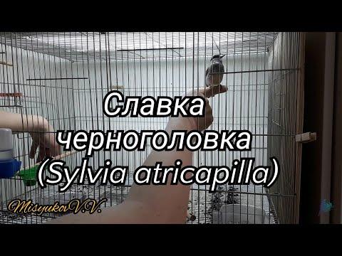 Славка черноголовка (Sylvia Atricapilla)