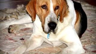 Порода собак. Англо-русская гончая.Порода о которой должен знать каждый собаковод