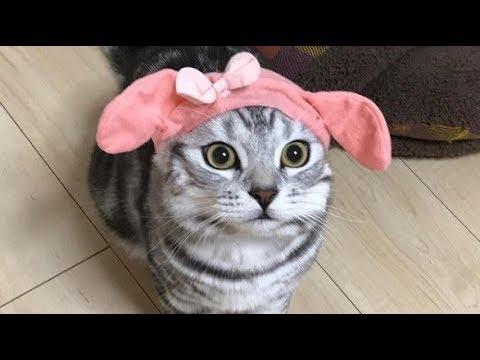 Lovely American Shorthair Cat Luke