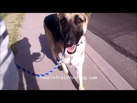 Apollo behaving while walking - Paws To Train Your Dog - Phoenix Dog Trainer