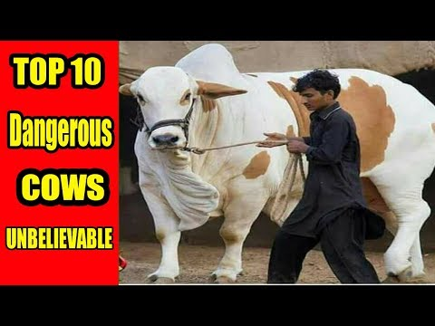Top 10 Most Dangerous Bulls And Cows|Vip Tents|Sohrab Goth